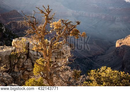 Gnarly Tree On The Edge Of Rim Of The Grand Canyon In Afternoon Light