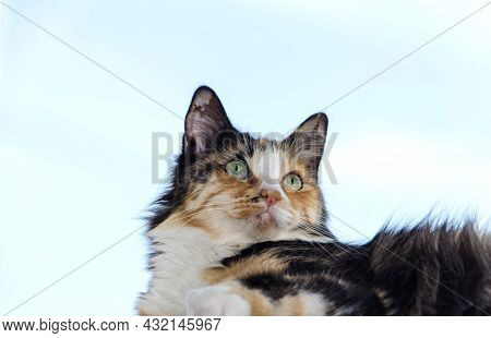 A Surprised Cat With Big Eyes, A Tricolor Cat Looks Into The Distance. Focus On The Eyes.