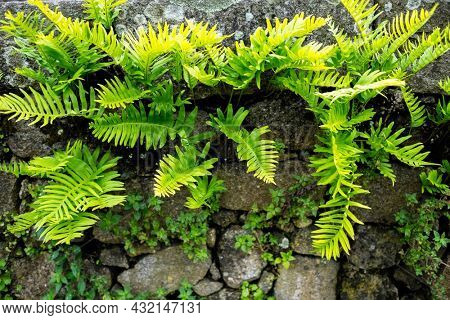 Ferns sprouted in an ancient stone wall.