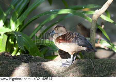 Side View Photo Of Lesser Whistling Duck Standing Alone On The Log In Forest.