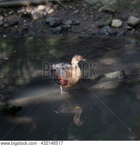 Lesser Whistling Duck Standing Alone In Stream With Reflection On The Water Surface.