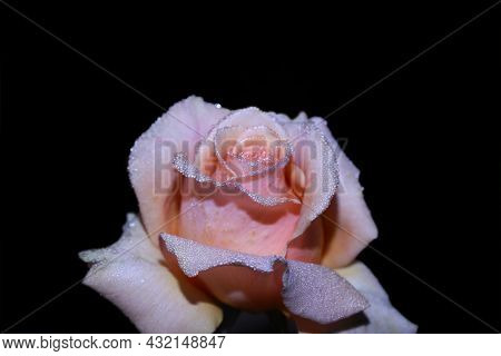 Art Photo Rose Petals Isolated On The Black Background. Closeup. For Design, Texture, Background. Na