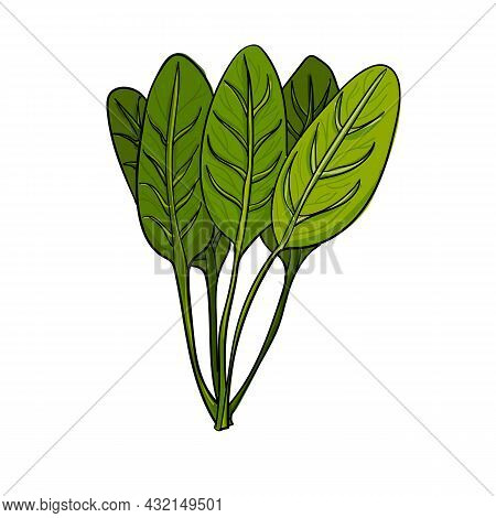 Vector Illustration Bunch Of Spinach Using Shades Of Green And Strokes.
