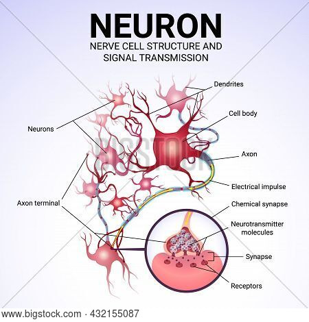 Neuronal Structure And Signal Transmission, Medical Poster