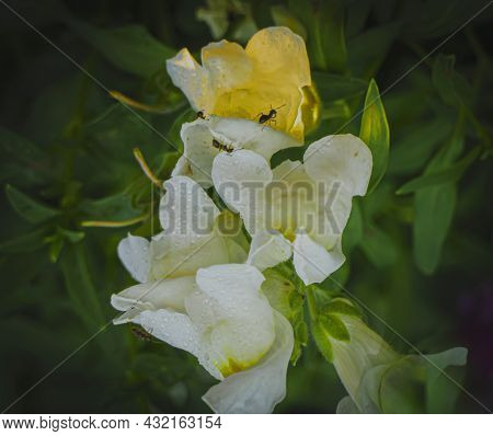 White Snapdragon Flowers Covered With Morning Dew And Black Ants