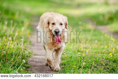 Old cute golden retriever dog walking at the nature with tonque out feeling thirst. Beautiful portrait of doggy pet labrador in summer park with green grass