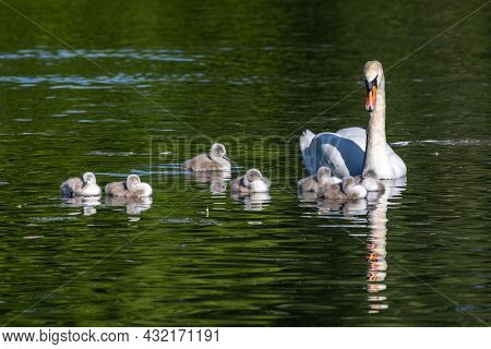 Mute Swan Family. Mother With Babies. Cygnus Olor Is A Species Of Swan And A Member Of The Waterfowl