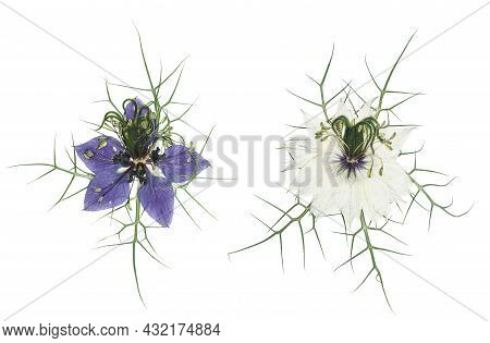 Pressed And Dried Delicate Flowers Nigella. Isolated On White Background. For Use In Scrapbooking, P