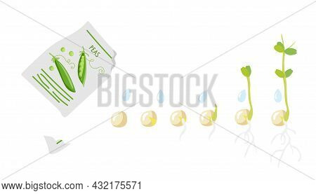 Germination Stages. Green Pea Seeds Fall From Pack And Germinate. Growing Plant. Sprout Growth Proce