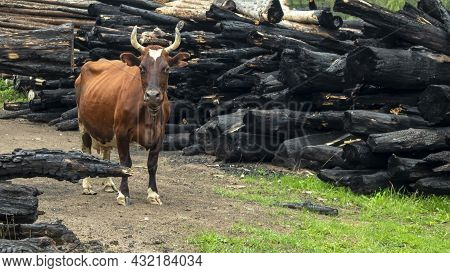 Portrait Of A Red Cow On The Background Of A Burnt Farm