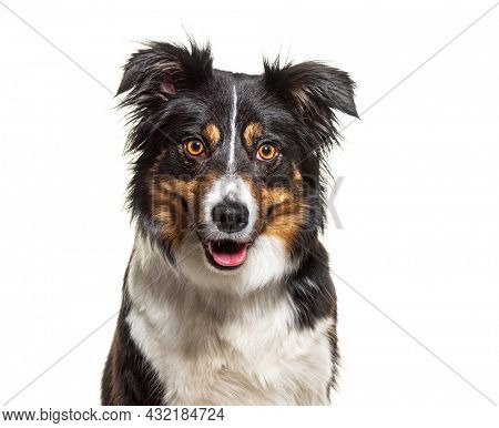 Head shot portrait of a Tri-color border collie dog facing, isolated on white