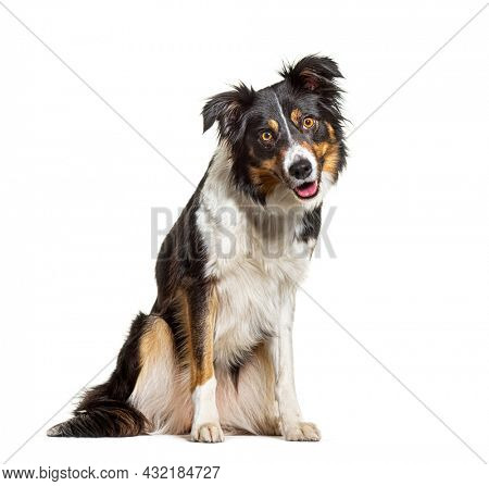 Portrait Tri-color border collie dog sitting, panting and looking at the camera, isolated on white