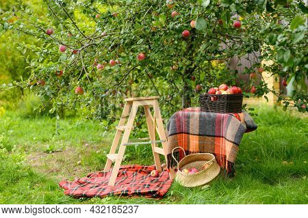 Harvesting Apples In The Garden. A Full Basket Of Apples And A Chair For Picking Apples.