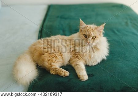 Close up of pet cat in bedroom, lying on bed, looking to camera. domestic pet, spending time at home.