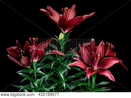 Blooming red Lily flower. Beautiful Lily opening up. Blossom big flowers on black background.
