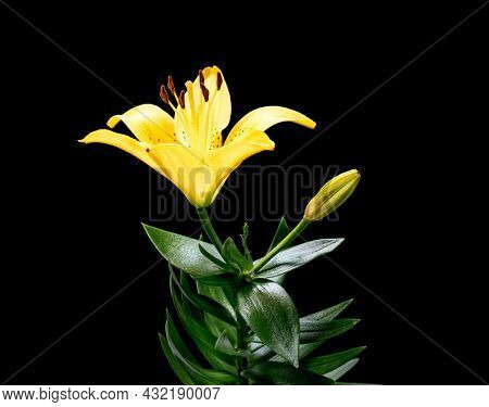 Blooming yellow Lily flower. Beautiful Lily opening up. Blossom big flowers on black background.