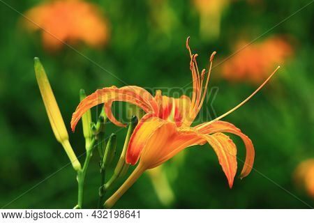 Close-up Of Daylily(hemerocallis Fulva,orange Daylily) Flower And Buds,view Of Orange Daylily Flower