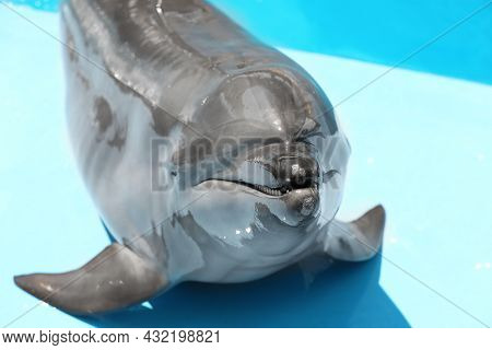Cute Grey Dolphin At Poolside On Sunny Day, Closeup