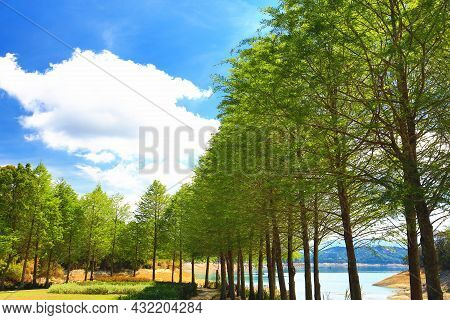 Amazing View Of Lake With Bald Cypress Trees And Blue Sky In A Sunny Day