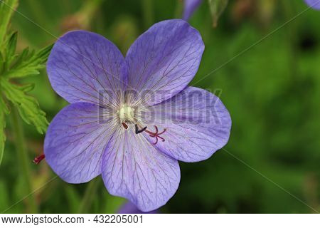 Violet Cranesbill, Unknown Geranium Species, Flower In Close Up With A Background Of Blurred Leaves.
