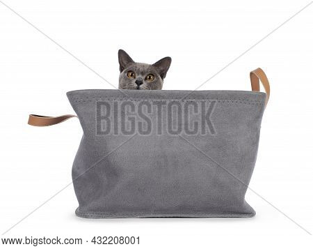 Blue Burmese Cat Kitten, Sitting In Grey Basket. Looking Naughty Over Edge Towards Camera. Isolated
