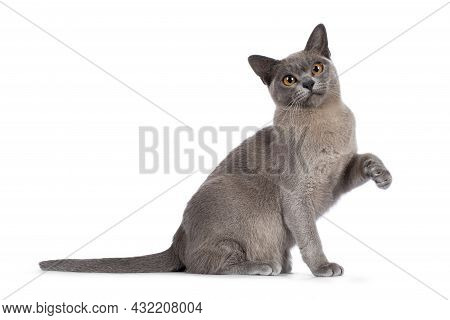 Blue Burmese Cat Kitten, Sitting Up Side Ways With One Paw Playful In Air. Looking  Towards Camera.