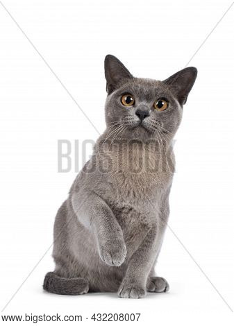 Blue Burmese Cat Kitten, Sitting Up Facing Front With One Paw Playful In Air. Looking  Towards Camer