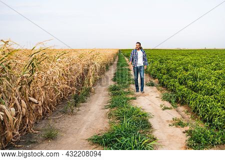 Farmer Is Walking By His Dry Corn Field.