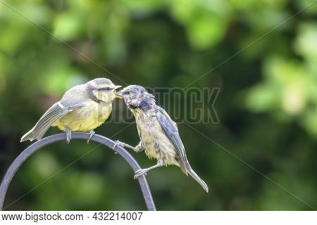 Mother blue tit, Cyanistes caeruleus, feeds fledgling. Green foliage background with space for text. Hampshire, UK.