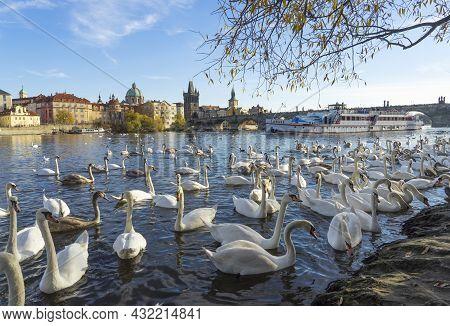 Prague, Czech Republic - November 8, 2015: Swans On Vltava River In Prague, Czech Republic. Swans On