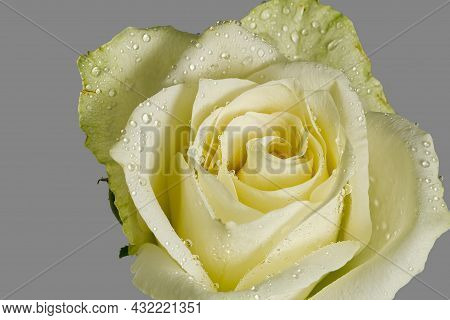 Close Up Of White Rose With Dew. Close-up White Rose With Raindrops On The Petals