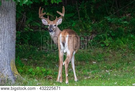 White-tailed Buck (odocoileus Virginianus) With Velvet Antlers During Late Summer. Selective Focus,