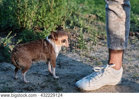 Small Dog And Male Leg Outdoors. Chihuahua Size Compared To Human Foot.