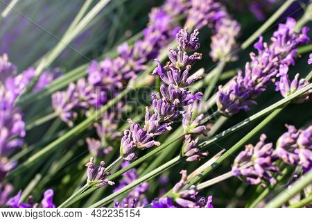 Lavender Blooming Gardens Lilac Lavender Branches Spring Bloom