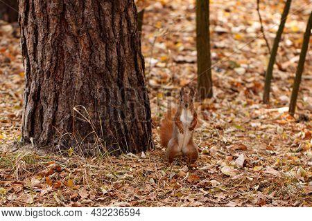Squirrel In Autumn Park Forest. Autumn Squirrel Portrait.