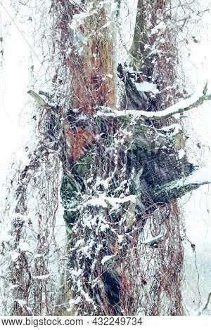 Tree Trunk Wrapped Up By Field Bindweed And Covered With Snow In Winter During Snowfall