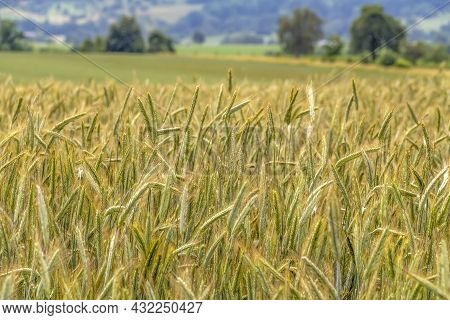 Agricultural Scenery Around A Grainfield Closeup In Southern Germany At Summer Time