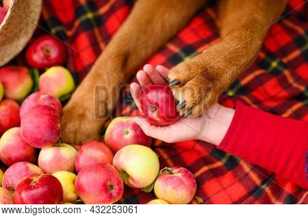 Large Paw Of A Dog On A Ripe Red Apple. Harvesting Apples. Selective Focusing On The Paw.