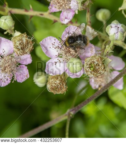 Bumblebee On Dog Rose Blossom In Natural Ambiance