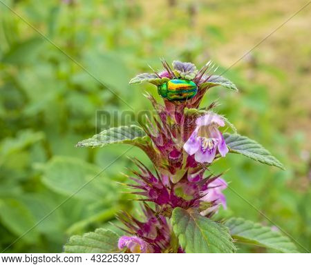 Colorful Metallic Iridescent Dead-nettle Leaf Beetle On A Flower Tip In Natural Green Ambiance