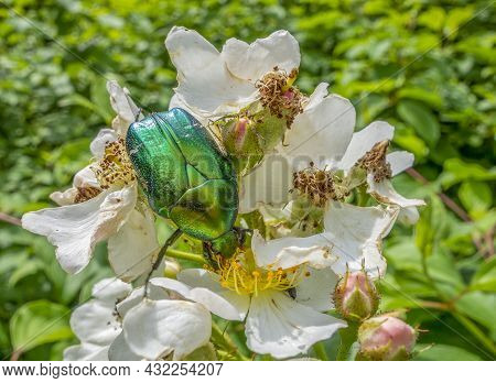 Green Rose Chafer Between White Dog Rose Blossoms