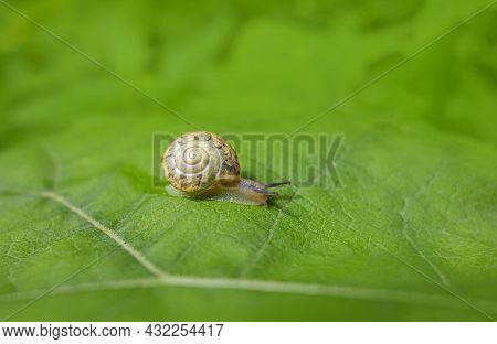 Small Land Snail With Shell Creeping On A Green Leaf