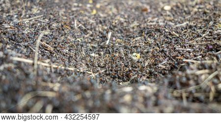 Low Angle Closeup Shot Showing A Wood Ants Nest