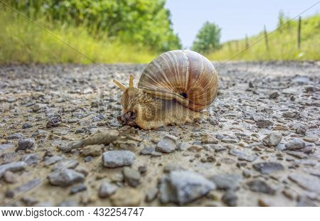 Low Angle Shot Of A Roman Snail On A Field Path At Summer Time
