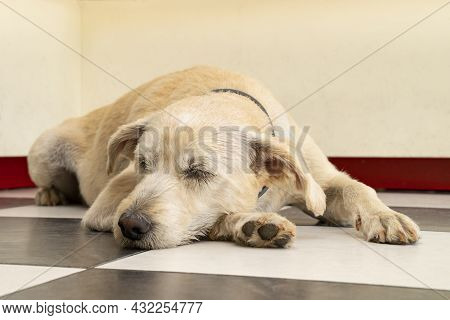 A Golden Colored, Mixed Breed Dog Sleeping On A Checkered Floor.