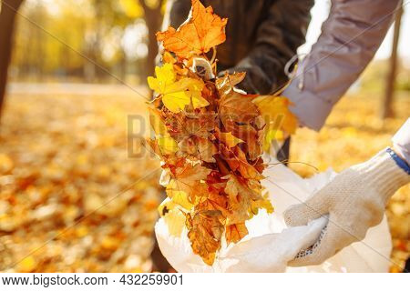 Hands Collect And Put The Fallen Leaves In A Bag. A Close-up Shot Of A Collection Of Leaves In An Au