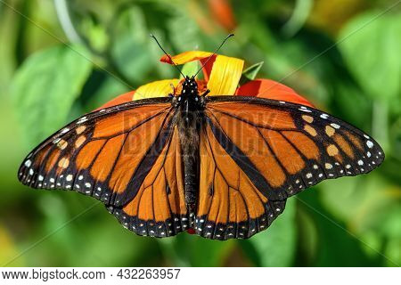 Male Monarch Butterfly In The Late Summer Sun. The Monarch Is A Milkweed Butterfly In The Family Nym