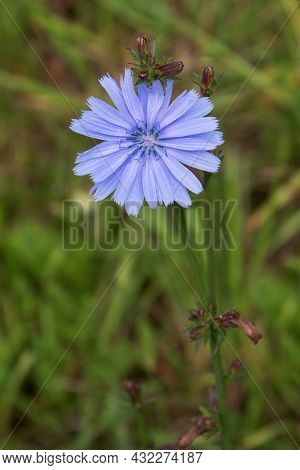 Chicory Flower Blooming, Common Chicory Also Known As Witloof Chicory, Blue Daisy, Blue Dandelion, W