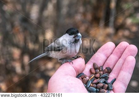 A Willow Tit Sits On A Man's Hand And Eats Seeds. A Willow Tit Bird Sitting On The Hand And Eating S