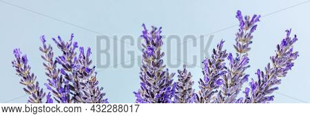 Lavender Flowers Panorama. Lavandula Plants, Alternative Therapy Panoramic Banner